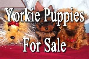Empyrean Yorkies | Yorkshire Terriers for Sale