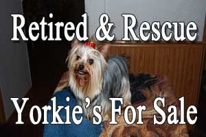Retired Yorkie's For Sale